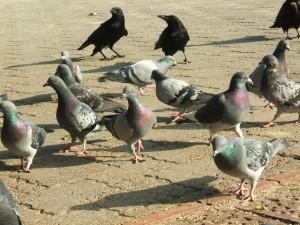 鳩とカラス